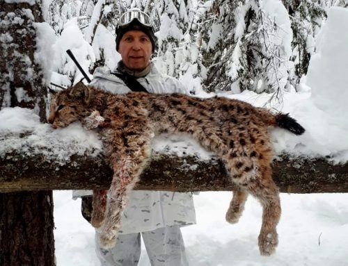 Lynx and Capercaillie Hunt in Russia